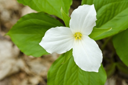 trillium: White Trillium Blooming in Spring Stock Photo