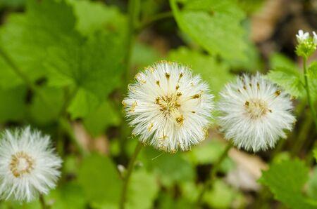 puffs: White Flower Puffs Stock Photo