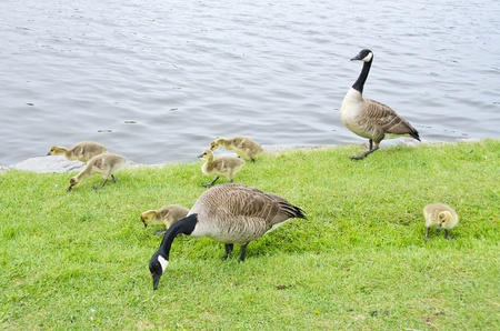 rideau canal: Family of Canada Geese by the Rideau Canal Ottawa Stock Photo