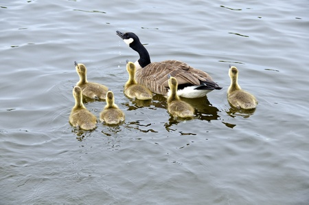 rideau canal: Family of Canada Geese in the Rideau Canal Ottawa