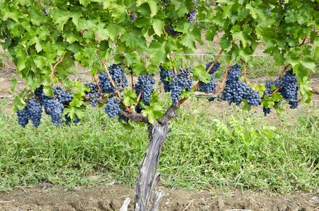 wine industry: Bunches of Carbernet Sauvignon Red Wine Grapes on the Vine