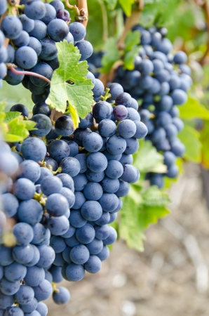 Bunches of Carbernet Sauvignon Red Wine Grapes on the Vine