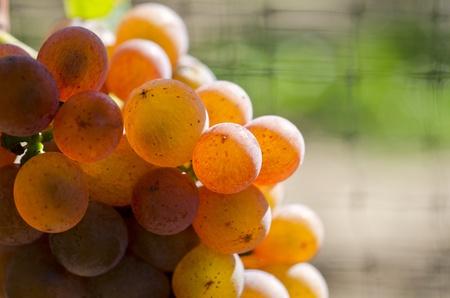 Bunch of Gewurtztraminer White Wine Grape on the Vine