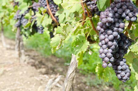 nebbiolo: Italian Nebbiolo Red Wine Grapes on the Vine Stock Photo