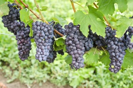 uvas vino: Italianas Nebbiolo Uvas de vino rojo en la vid