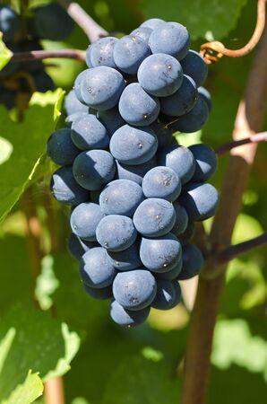 pinot noir: Closeup of a Bunch of Pinot Noir Red Wine Grape on the Vine