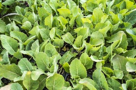 Cauliflower Seedlings Stock fotó
