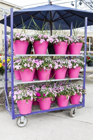 impatiens: Potted Impatiens Flowers in a Plant Nursery