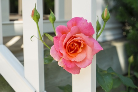 Single Pink Rose Between a White Fence