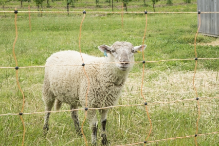 electric fence: Sheep Behind Electric Fence