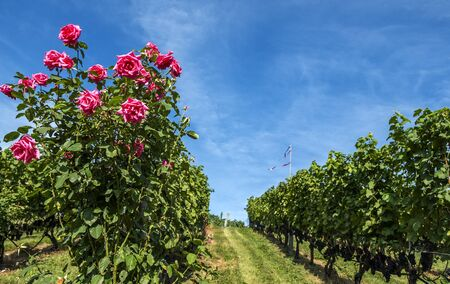 Rose Bush in a Vineyard Zdjęcie Seryjne