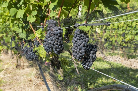 pinot noir: Pinot Noir Grapes Hanging on the Vine in a Vineyard