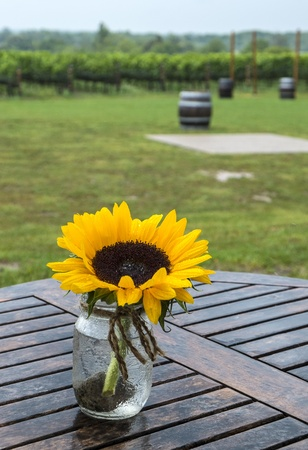 Sunflower in a Vineyard  photo