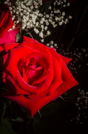 Red Roses and Baby s Breath 版權商用圖片