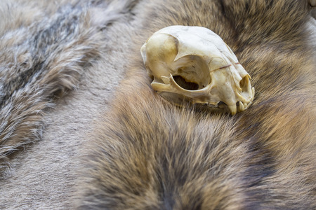 fox fur: Lynx Skull on Fox Fur Stock Photo