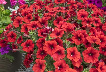 petunias: Red Petunias Stock Photo