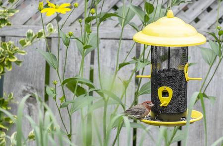 House Finch on a Bird Feeder Stock Photo