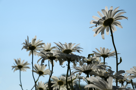 sihlouette: White Daisies Against the Blue Sky Stock Photo