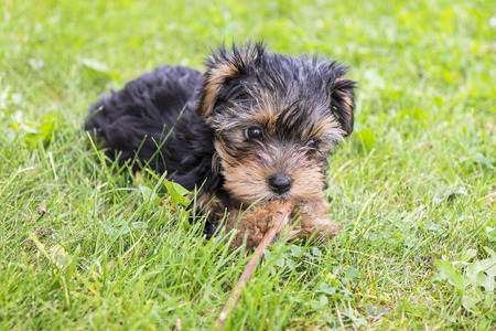 Yorkie Puppy Playing with a Stick Imagens