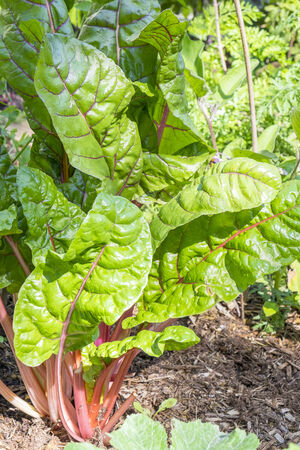 Swiss Chard in a Vegetable Garden