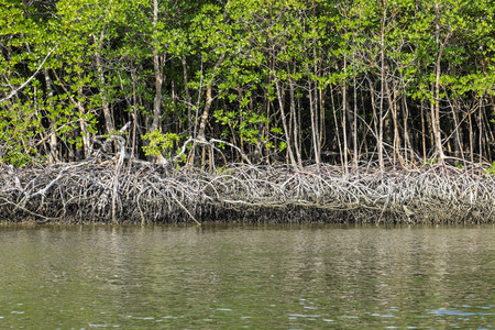 Florida Red Mangrove Forest