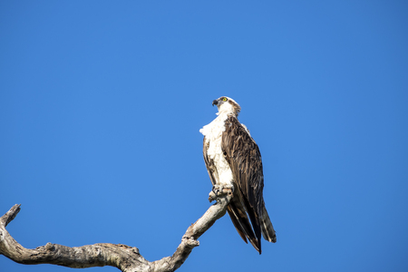 Osprey Sitting on a Tree Branch Against Deep Blue Sky Stock fotó