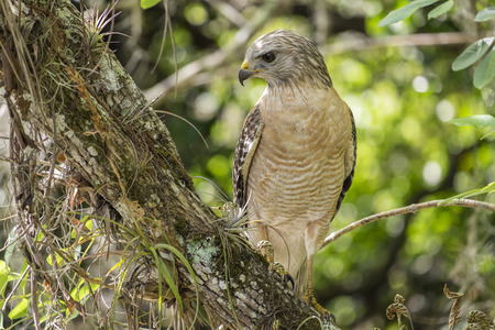 shouldered: Red-shouldered Hawk Sitting on a Tree Branch in the Forest