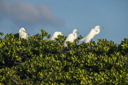 Roekenkolonie in Everglades Florida