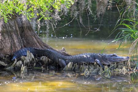 cypress tree: American Alligator Resting Under a Cypress Tree Stock Photo