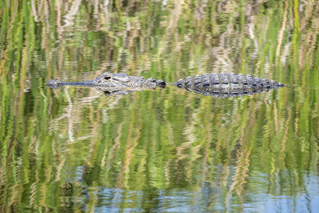 alligator: American Alligator Swimming in a River