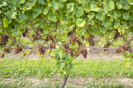 Gewurtztraminer White Wine Grapes on the Vine Фото со стока