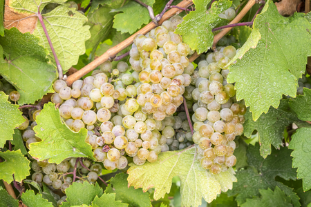 Riesling White Wine Grapes Hanging on the Vine