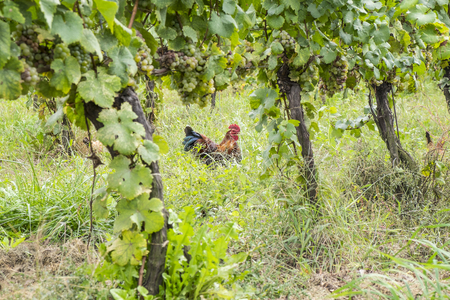 riesling: Chickens in an Organic Vineyard to Catch Bugs and Control Pests
