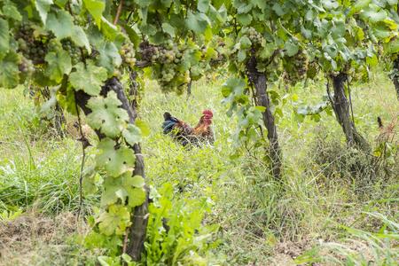 viñedo: Pollos en un viñedo orgánico para atrapar insectos y plagas de control