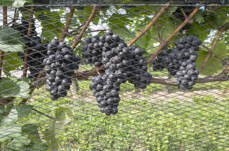 pinot: Pinot Noir Red Wine Grapes Hanging on the Vine in a Vineyard Stock Photo