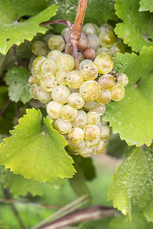 riesling: Riesling White Wine Grapes Hanging on the Vine