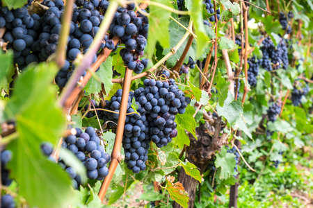 Cabernet Red Wine Grape in a Vineyard Stock Photo