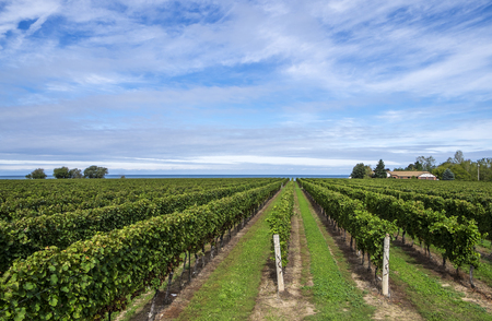 lake: Scenic Vineyard by Lake Ontario