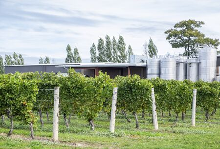chardonnay: Chardonnay Vines and Fermenting Tanks in a Winery
