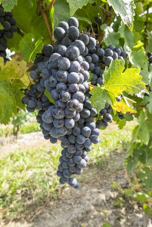 Cabernet Red Wine Grape in a Vineyard Stok Fotoğraf