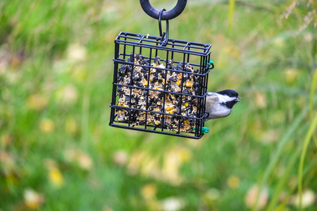 chickadee: Black-capped Chickadee Eating from a Seed Cake in a Backyard Stock Photo