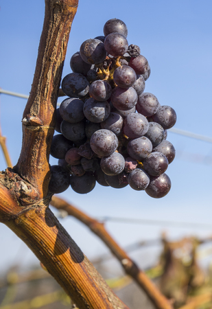 cabernet sauvignon: Cabernet Sauvignon Red Wine Grape Hanging on the Vine in Late Fall Stock Photo