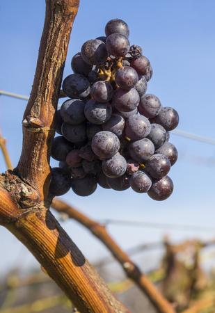 sauvignon: Cabernet Sauvignon Red Wine Grape Hanging on the Vine in Late Fall Stock Photo