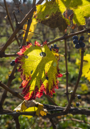 cabernet sauvignon: Cabernet Sauvignon Red Wine Grapes Hanging on the Vine in Late Fall