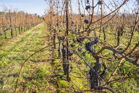 sauvignon: Cabernet Sauvignon Red Wine Grapes Hanging on the Vine in Late Fall