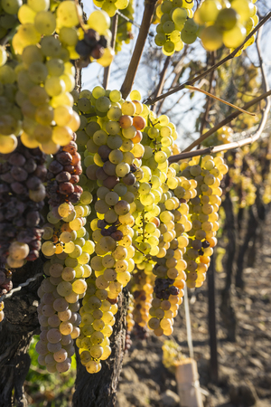 late fall: Vidal White Wine Grapes Hanging on the Vine in Late Fall