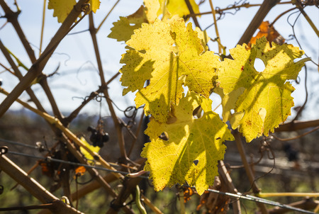 cabernet: Cabernet Sauvignon Red Wine Grapes Hanging on the Vine in Late Fall