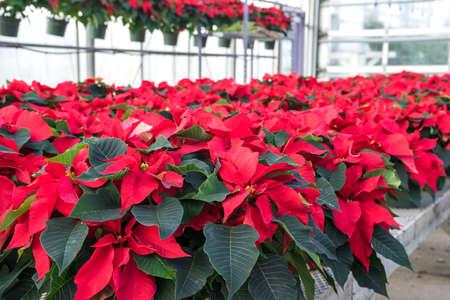 garden center: Red Poinsettias in Pots on Display in a Garden Center Stock Photo