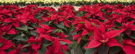 creamed: Red and Creamed Colored Potted Poinsettias in a Garden Center Stock Photo