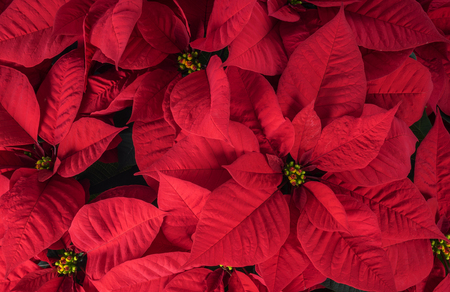 poinsettia: Close Up of Bright Red Christmas Poinsettia